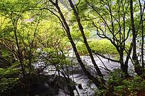 茂密树林下的小水流