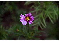 盛开的淡紫色波斯菊