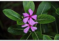盛开的淡紫色长春花和他的叶子