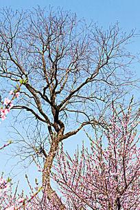 桃树枝与乔木