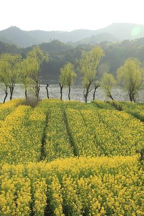 新安江畔的油菜花与垂柳