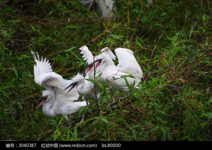 竹丛上争食的白鹭鸟图片