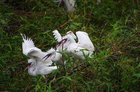 竹丛上争食的白鹭鸟