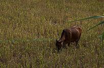 稻田中吃草的牛