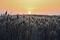 挂在居延海芦苇上的朝阳