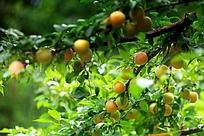 李子水果树