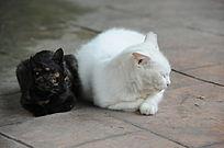 稍息一下的白猫和时刻警惕的黑猫