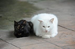 一对警惕的猫咪 同一个姿势