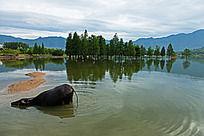 一只老牛从深水中起立