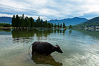 一只老牛站立在浅滩中休息