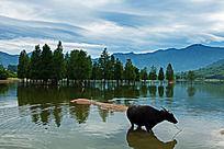 一只水牛站立在奇墅湖的浅滩中