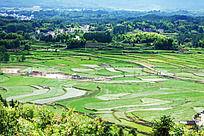 插满水稻秧的水田