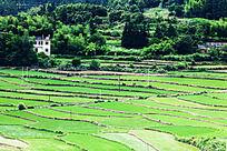 翠绿的农田