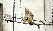 动物园里铁索桥上的猴子
