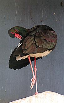 黑色头抓痒的大鸟
