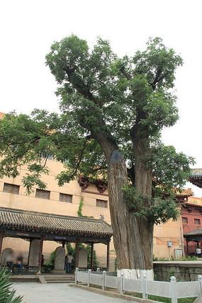 国槐树图片
