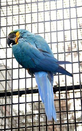 笼子里的蓝色鹦鹉