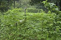 茂密的绿色植被图拉拉藤子