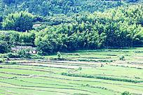 农田的周围是一大片竹园