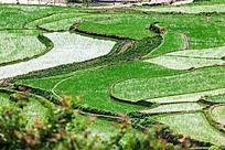 水田里插满了秧苗