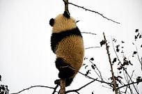 熊猫爬树的照片