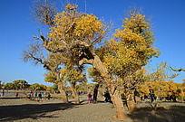 阳光下沙地上的胡杨树