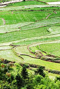 一块块的水田都插满了稻秧