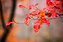 带着露珠的红枫树叶