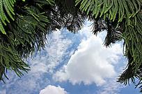 塔松  天空  白云