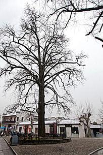 黟县宏村村口一棵古白果树