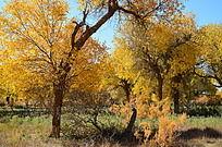 阳光下金黄透亮的胡杨树
