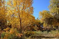 阳光下一棵透亮的胡杨树