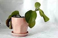 粉红色的花盘和绿植