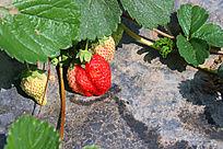 红色的小草莓
