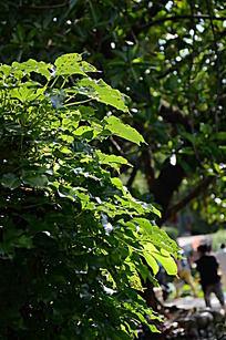 树叶沐浴在阳光下
