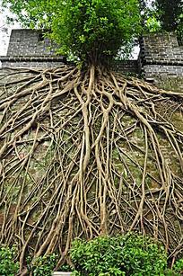 城墙上生长的老树