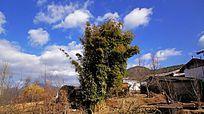蓝天白云下云南茶马古道村落前的大树