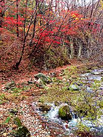 山沟里的枫树林