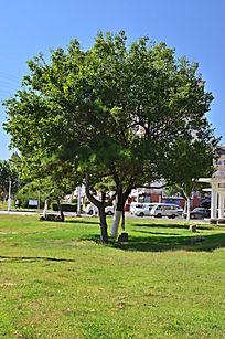 草地上茂密的大树