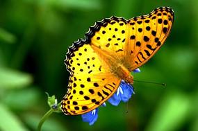 黄色斑点的蝴蝶