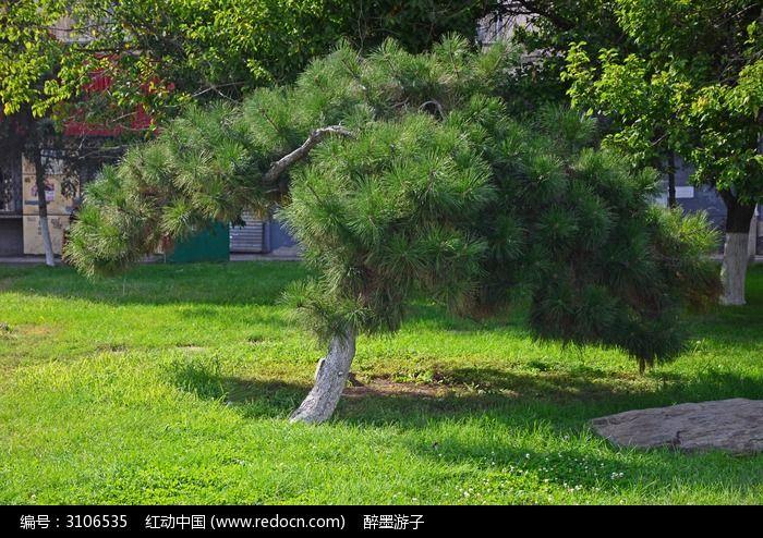 草地上的青松图片