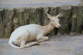 动物小鹿白鹿