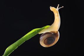 叶子上的蜗牛