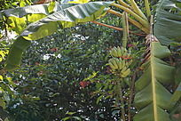 结满果实的香蕉树