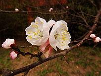 盛开的白色桃花特写唯美