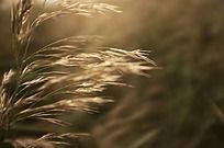 金色的芦苇