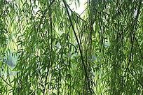杨柳树枝帘子
