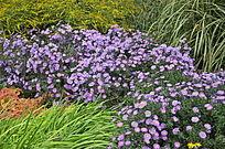 一片紫色的菊花