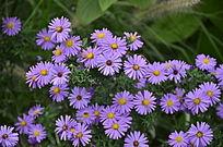 紫色菊花特写