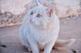 聚精会神的白猫